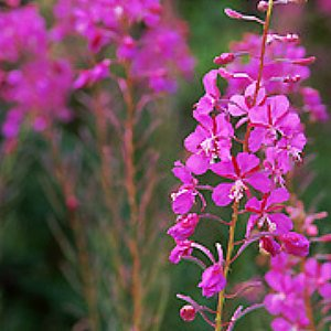 Fireweed Seeds