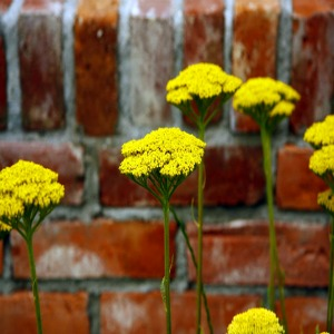 Golden Yarrow Seeds