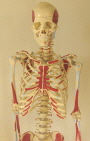 Life size skeleton painted