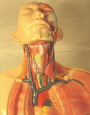 Model of veins of the head neck and thoracic