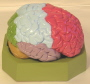 The leaf of brain model