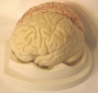 Five piece brain model