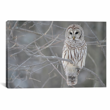 iCanvas - Barred Owl on Branches by Unknown Artist Canvas Print - 7008-1PC3-40x26