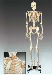 Medical School Skeleton