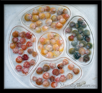 Sunrise Shells Available for Rings