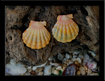 Sunrise Shell Post Earrings