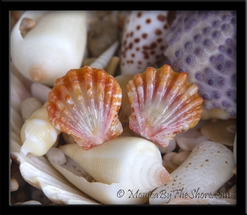 Papaya & Cream Hawaiian Sunrise Shell Post Earrings