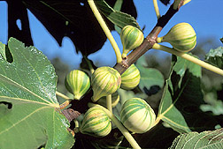 Panachee 'Tiger' Fig Tree Grower's Pot