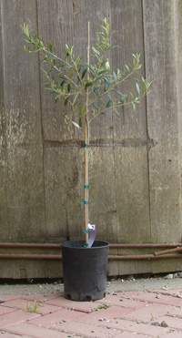 Arbequina Olive Tree 1 gal