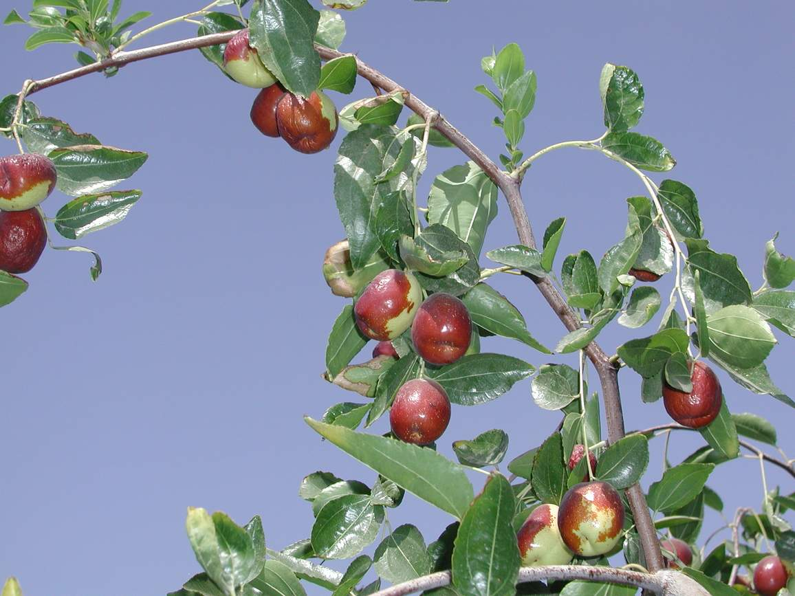 Click To Enlarge Jujube Trees