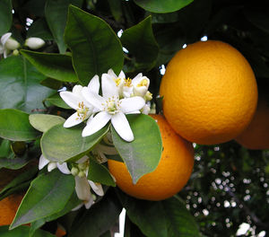 Trovita Sweet Orange Tree 3 Gal