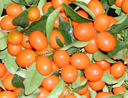 'Nagami' Kumquat Tree 5 Gal
