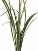 Lily Grass (Variegated)