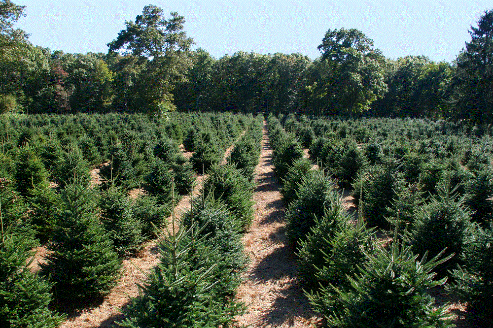 Visit our Christmas Tree Farm Choose and Cut Site