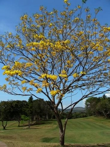 Guayacan Trumpet Tree -The princess of the forest plays her fanfare-