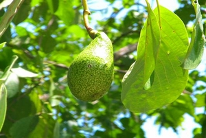 Avocado  -Symbol of love and beauty-