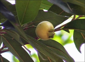 Rose Apple -The golden fruit of immortality-