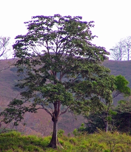 Panama tree -The guardian of the butterflies and the fish-