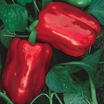 Sweet Chinese Giant Peppers