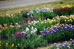 Mixed Bag of 10 Named Irises