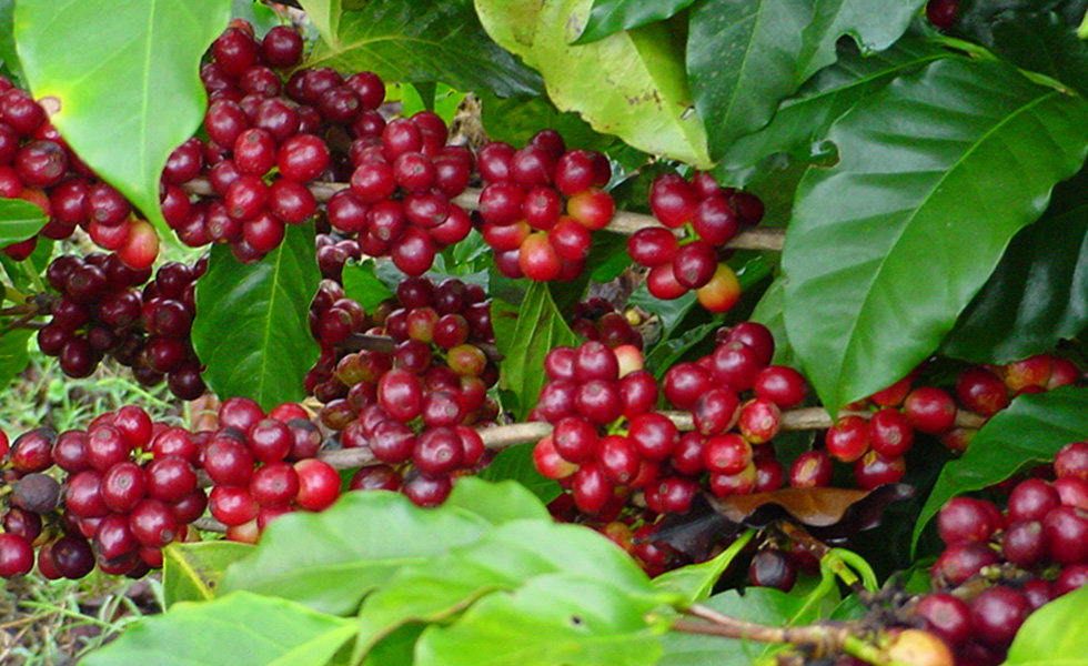 Costa Rica Coffee Plants
