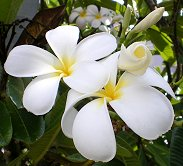 Happy gourmet shopping! Plumeria blossoms photo