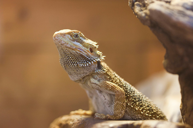 Feeding Bearded Dragons