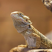 link to 5 Tips To Help You Feed Your Bearded Dragon