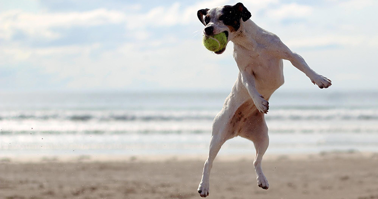 A image of a dog jumping to get a tennis ball