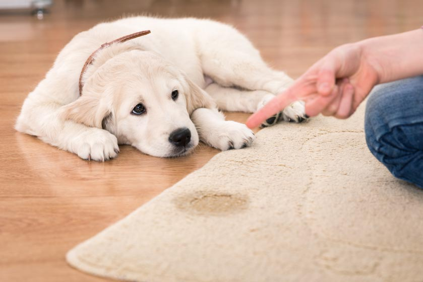 puppy laying down and hand pointing at puppy's urine