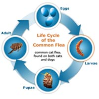 life cycle of the commom flea