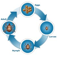 life cycle of ticks