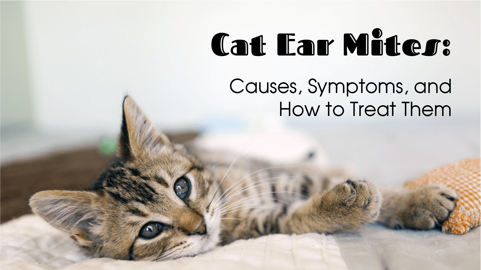 Cat Ear Mites How To Treat Them 2020 Entirelypets,Enchilada Recipe Authentic
