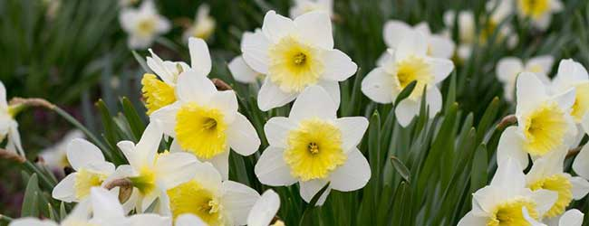 23 common flowers that are poisonous for your pet daffodil mightylinksfo