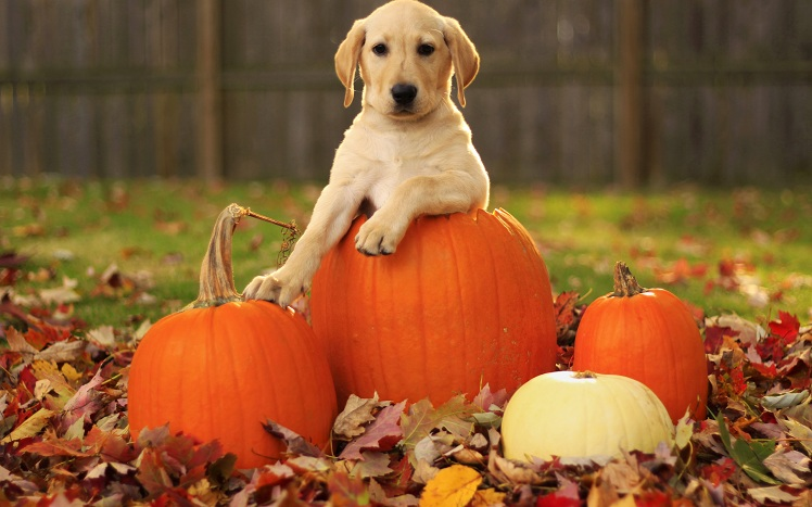 Dog With Pumpkins in Fall