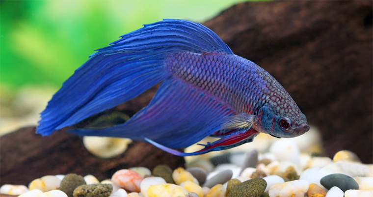 Blue betta fish in fish tank