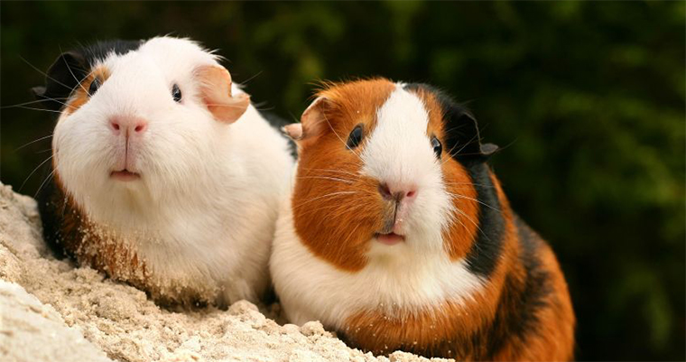 Close up of two orange, black, and white, guinea pigs.