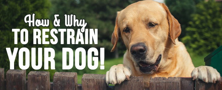 how-and-why-to-restrain-your-dog