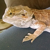 link to Meet Jabba, The Rescue Lizard!