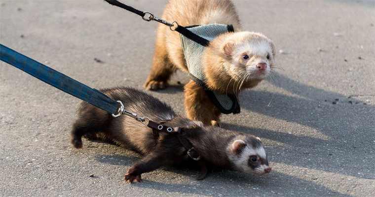 Know These 10 Ferret Care Tips