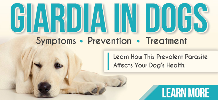 Learn all about Giardia in dogs and how to prevent and treat the disease it causes.