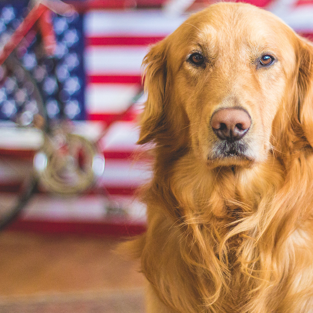 Golden retriever in front of American Flag
