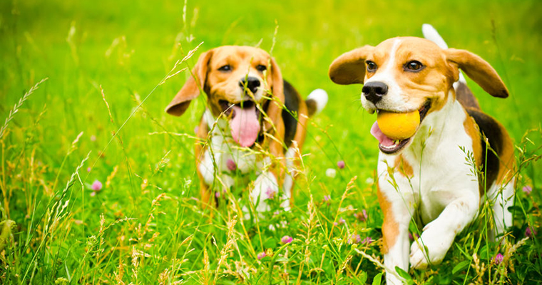A image of 2 dogs running in grass