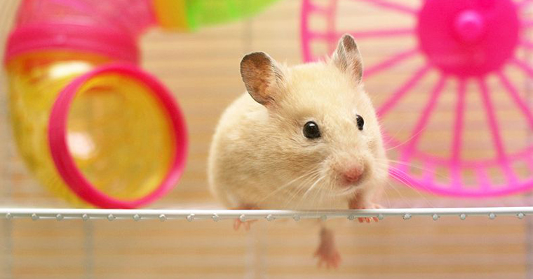 A image of a hamster