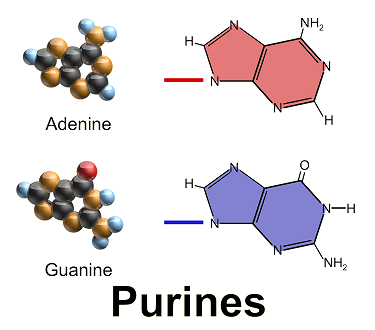 purines