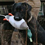 Steve's Lab ROXY with Lucky Dog dog training bumpers and dummies