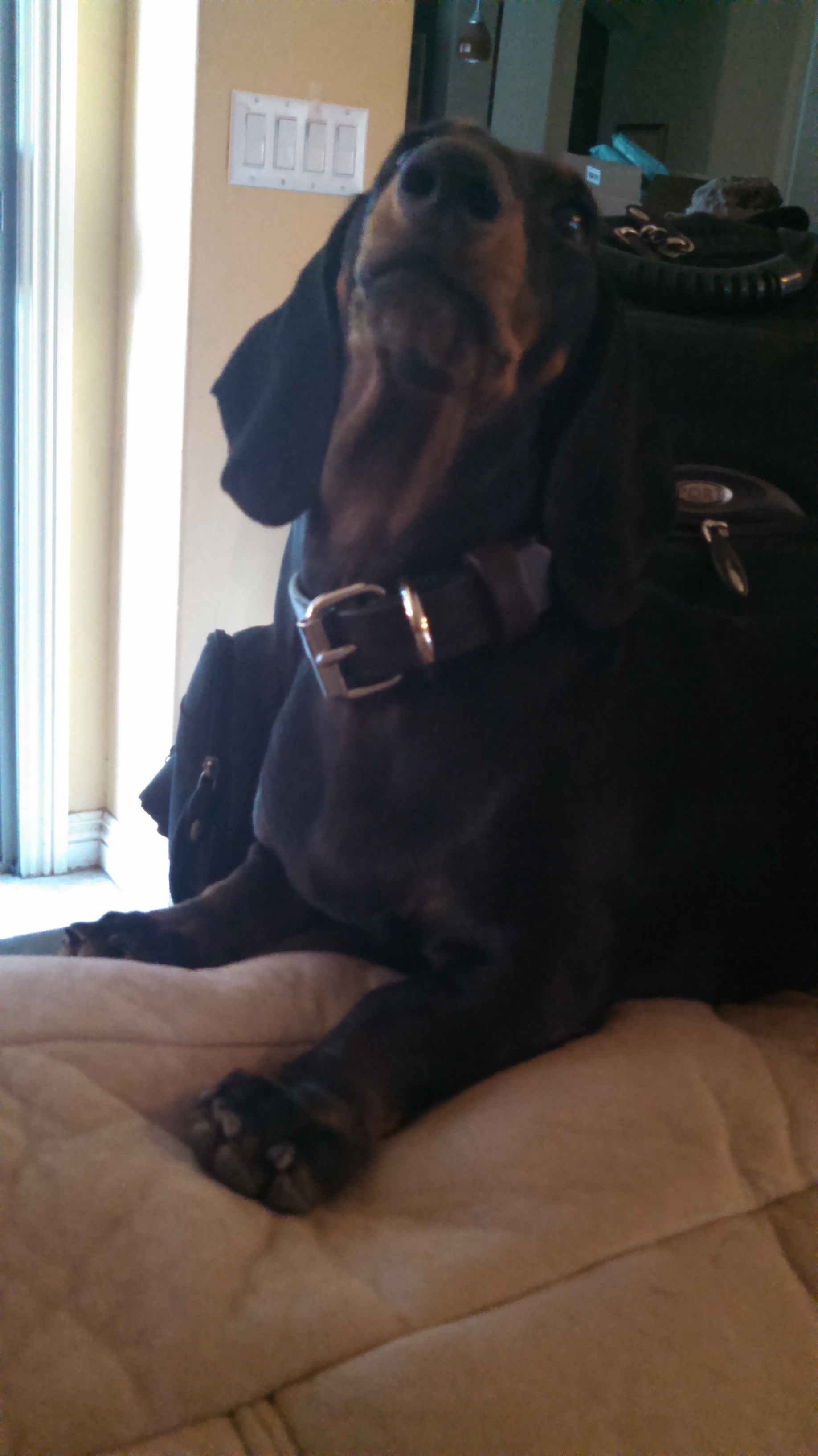 dog with leather collar