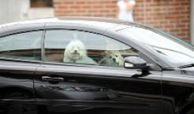 Dogs ride shotgun in their owner's car in Beverly Hills, Calif., on July 16.