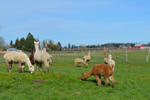 Alpacas Grazing on the Field