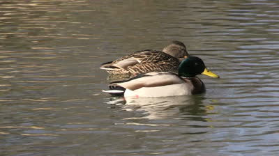the upside down life of dabbling ducks camo trading